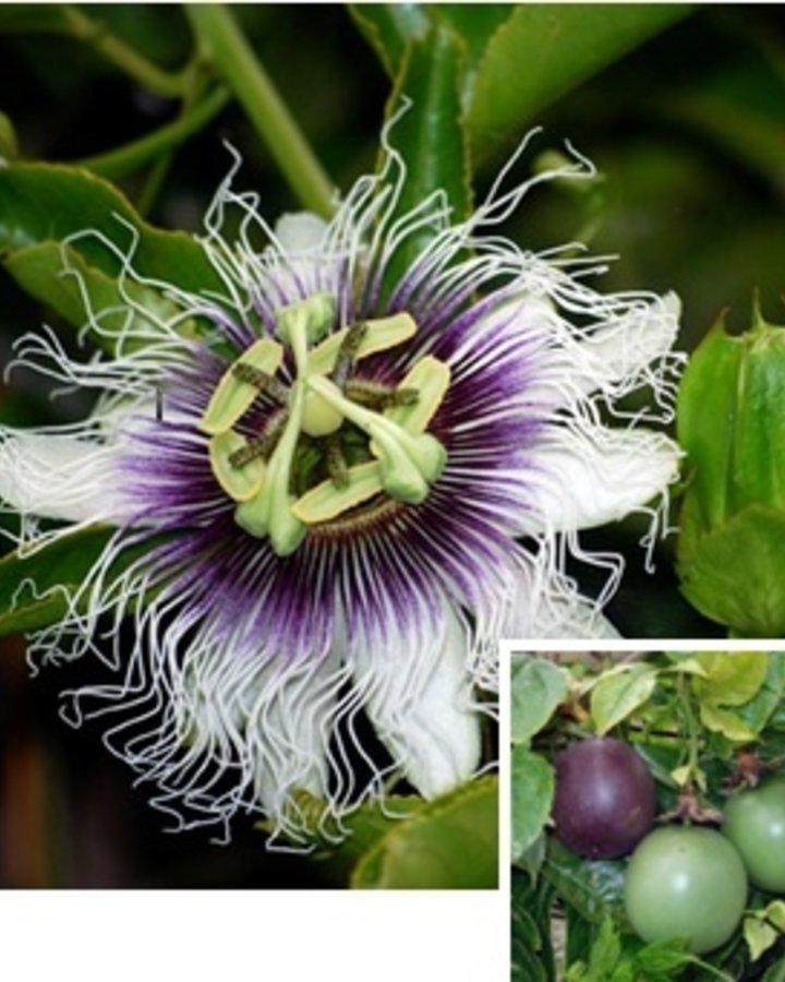 Passiflora edulis   Passiebloem