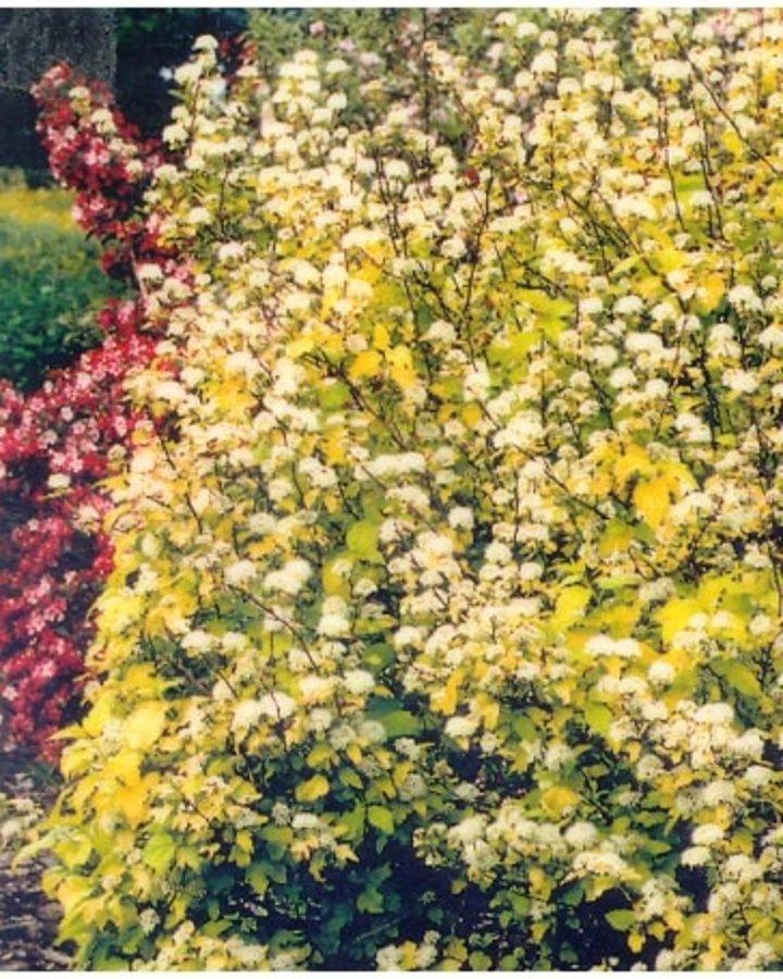 Physocarpus opulif. 'Dart's Gold'   Sneeuwbalspirea