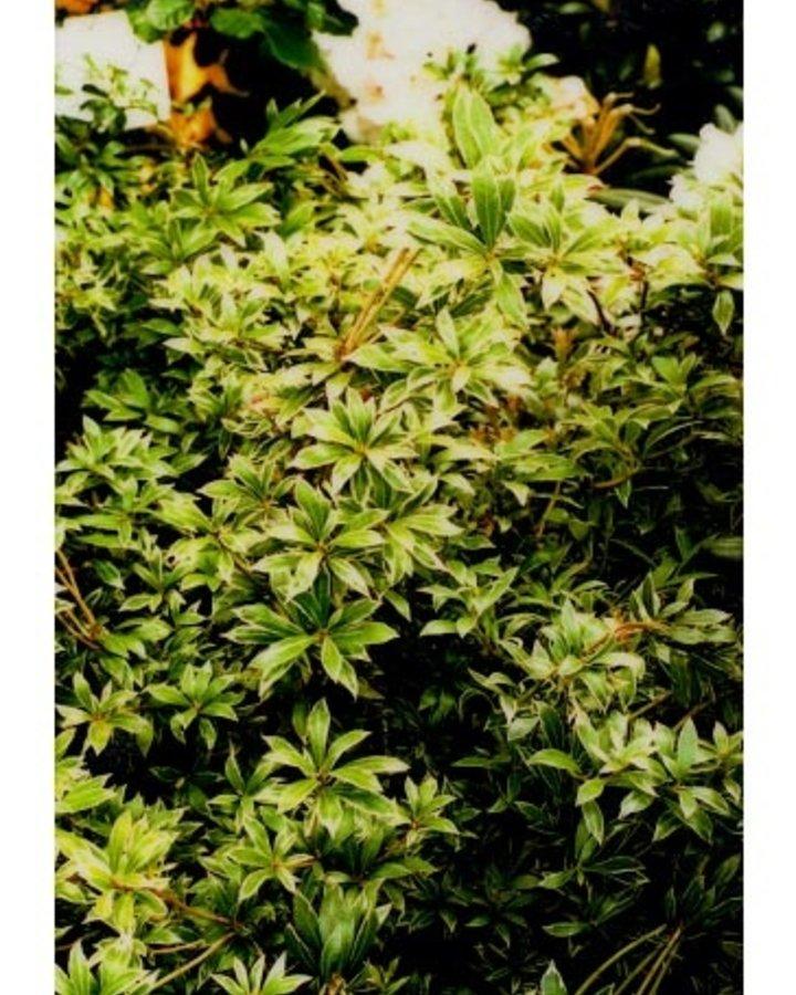 Pieris jap. 'Little Heath'   Rotsheide