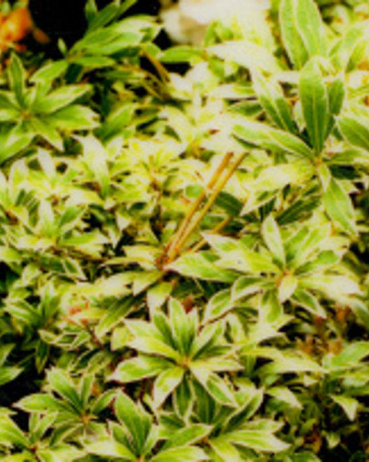 Pieris jap. 'Little Heath Green' | Rotsheide