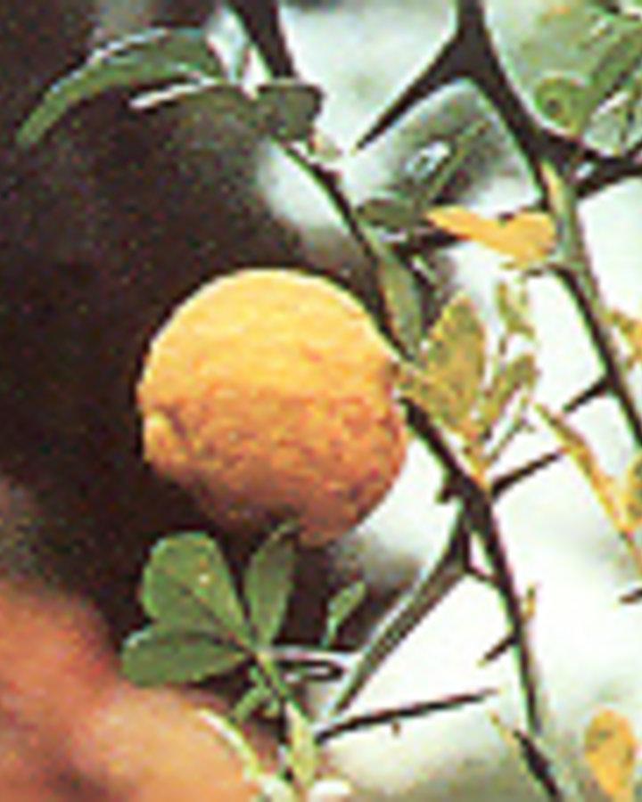 Poncirus trifoliata / Wilde citroen