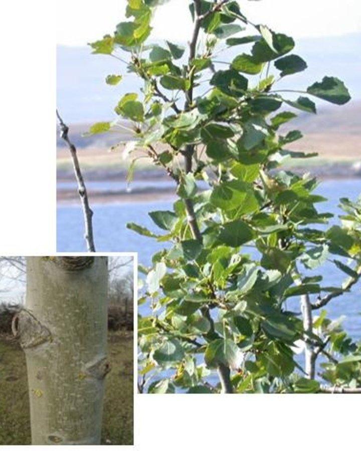 Populus tremula | Ratelpopulier  | Bos en haagplantsoen