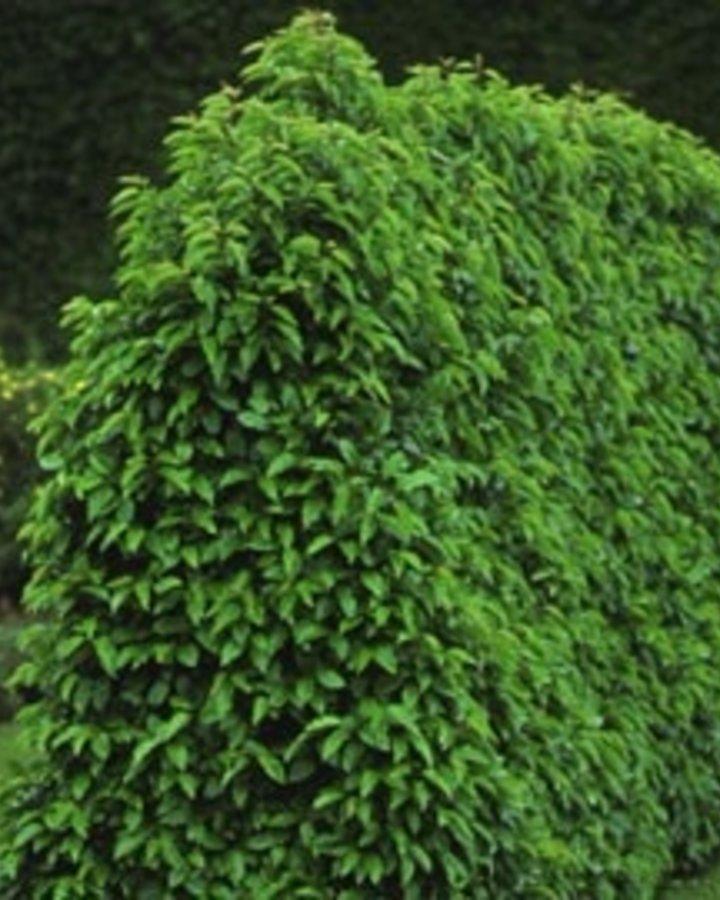 Prunus lusitanica / Portugeese laurierkers