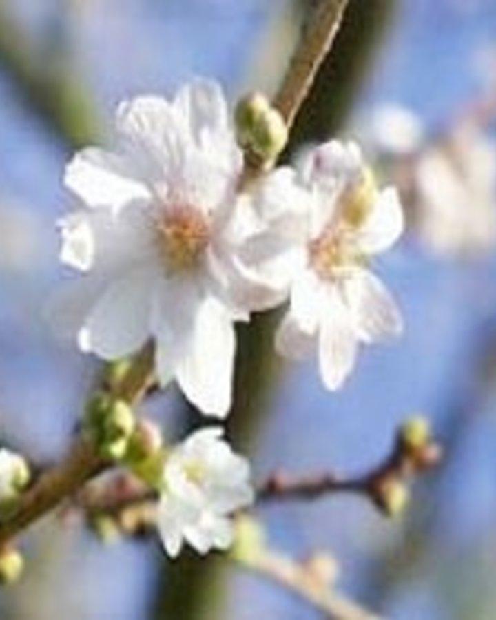 Prunus subh. 'Autumnalis' / Sierkers