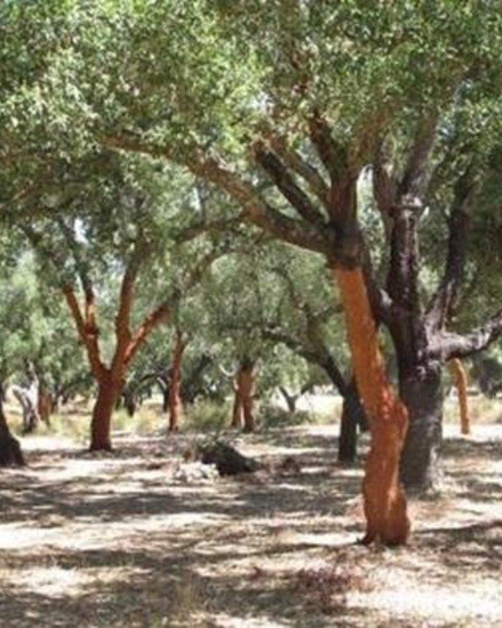 Quercus suber / Kurkeik, groenblijvend