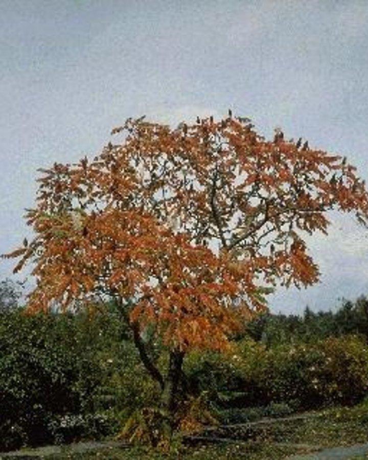 Rhus typhina | Fluweelboom  | Heester