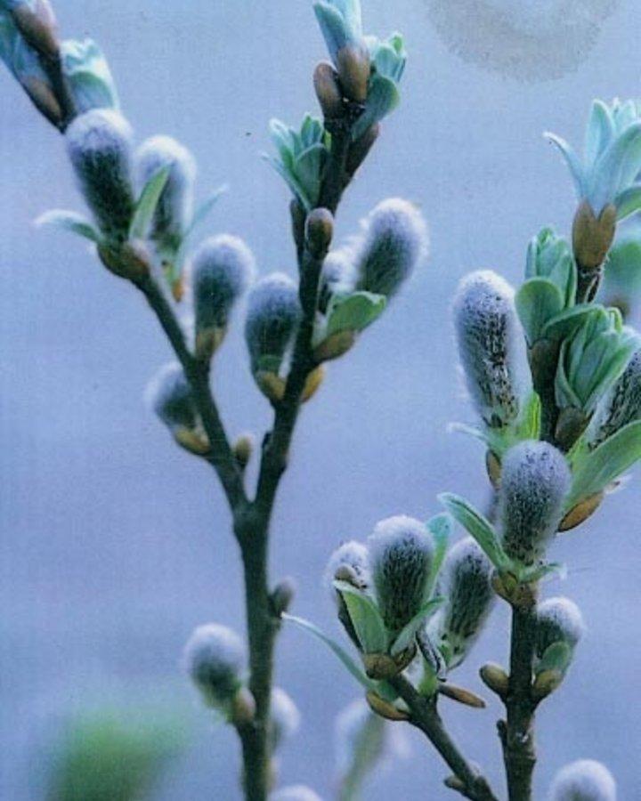 Salix helvetica   Dwergwilg