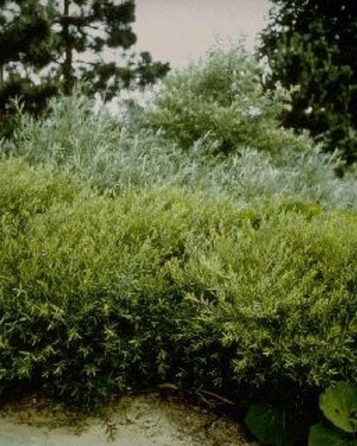 Salix purpurea 'Nana'   Wilg