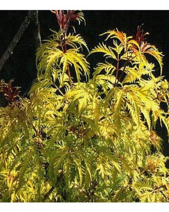 Sambucus racemosa 'Plumosa Aurea'   Vlier