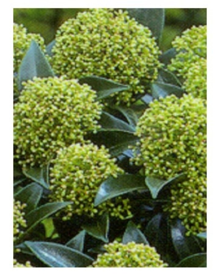 Skimmia japonica 'Godries Dwarf' | Dwergskimmia  | Heester