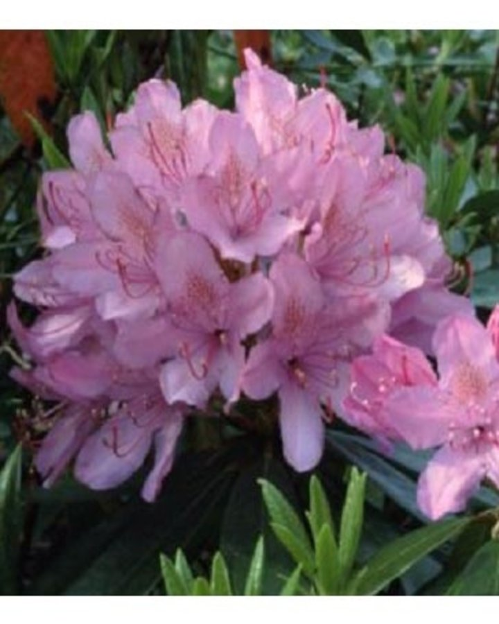 Rhododendron ponticum | Alpenroos  | Heester