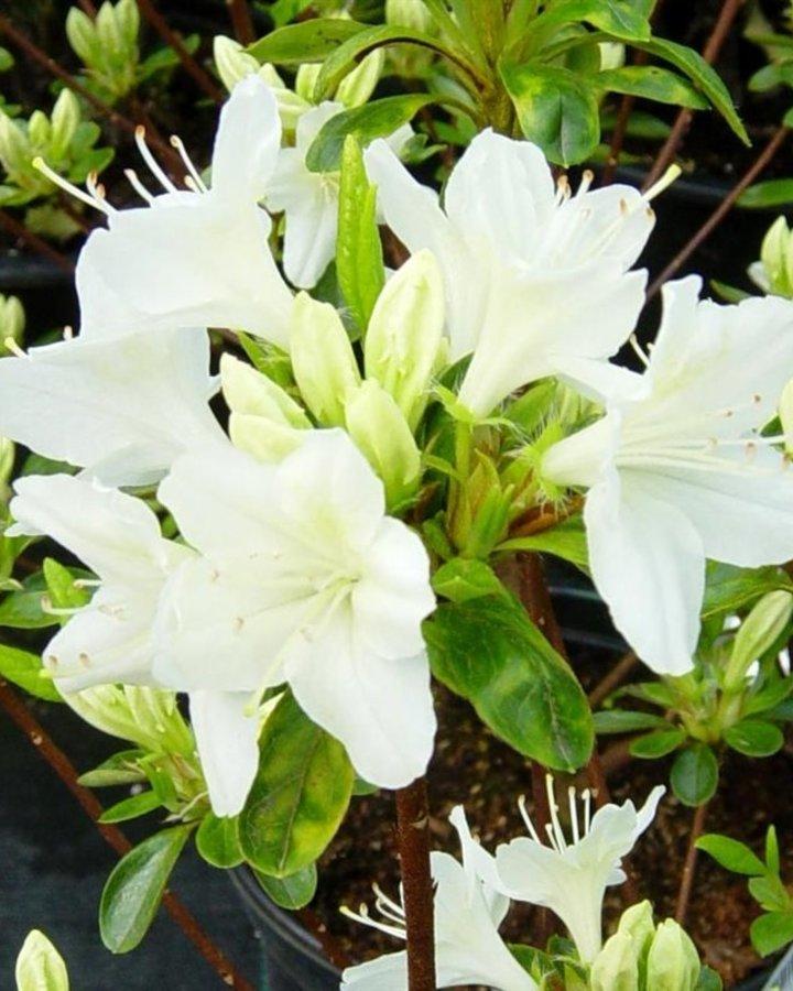 Rhododendron (AJ) 'Adonis'