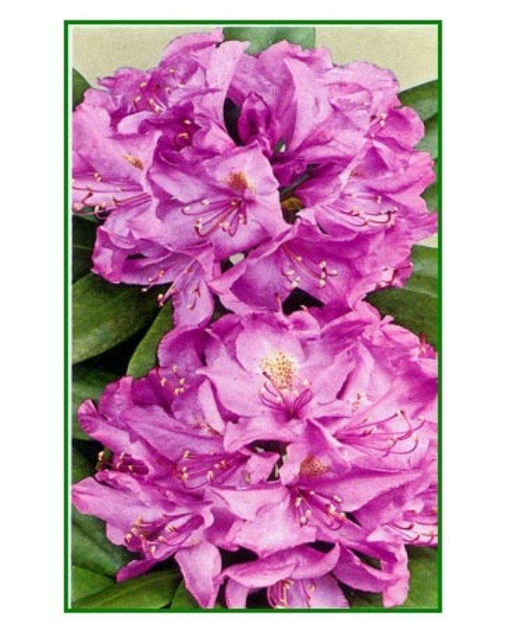 Rhododendron 'Catawb. Grandiflorum'   Alpenroos    Heester
