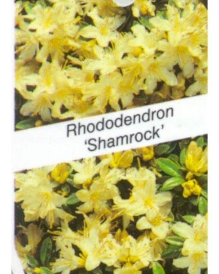 Rhododendron 'Shamrock' / Kleinbloemige rhodo