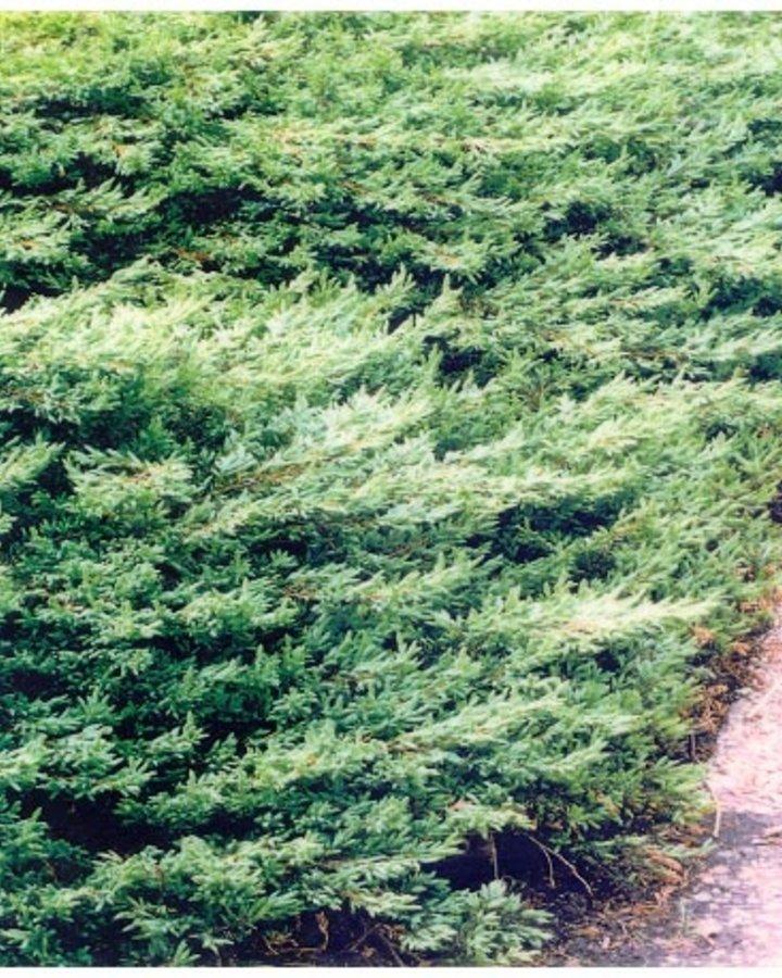 Juniperus comm. 'Repanda'   Jeneverbes