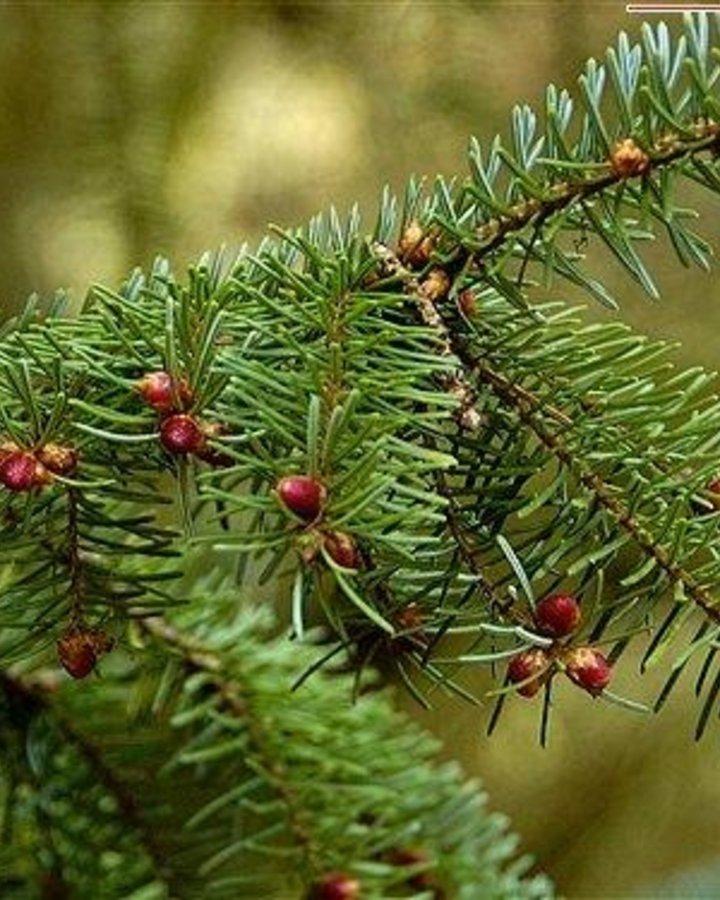 Picea omorika / Servische spar