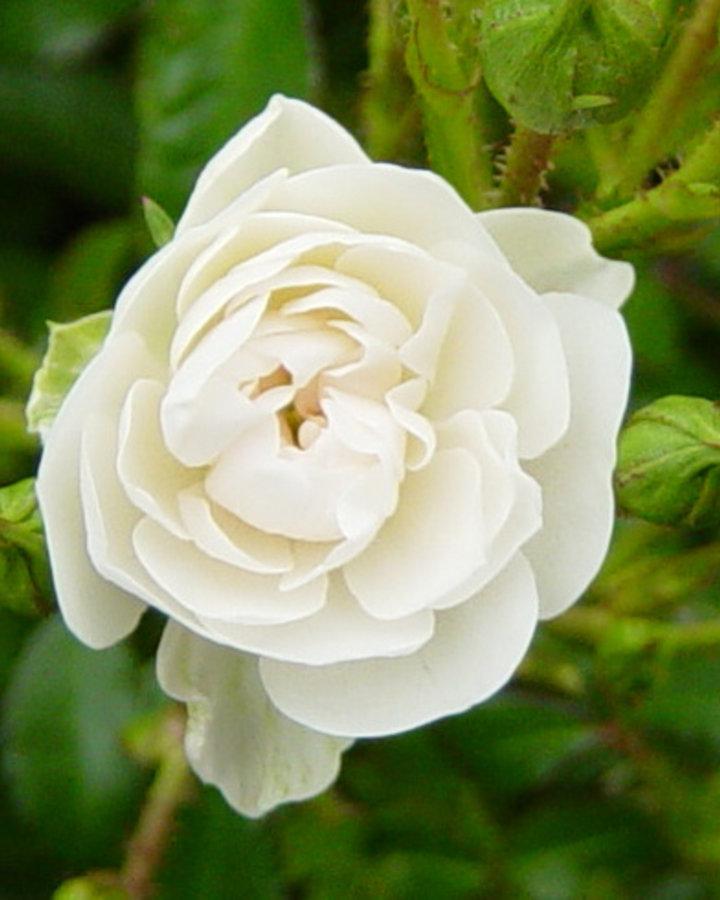 Rosa (P) 'Cristal Fairy' / Bodembedekkende roos