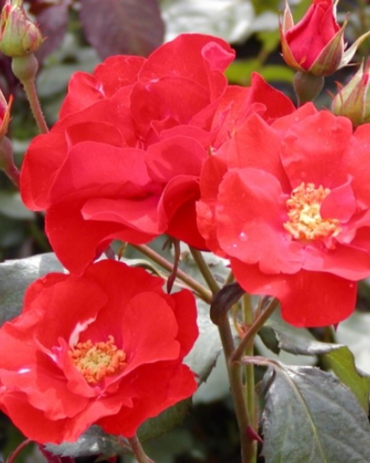Rosa (F) Amsterdam   Roos    Heester