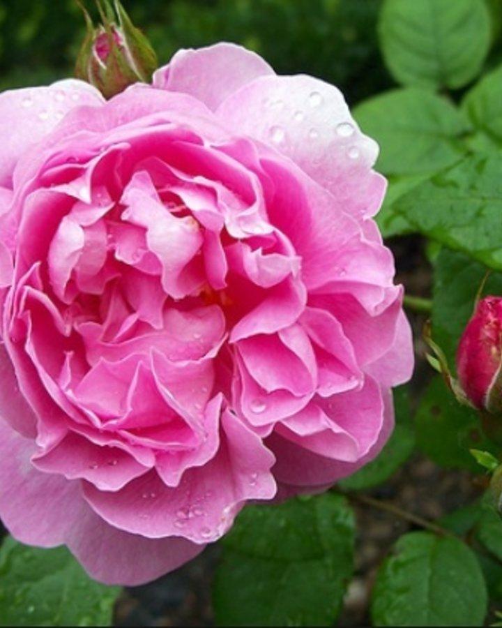 Rosa (T) Mary Rose