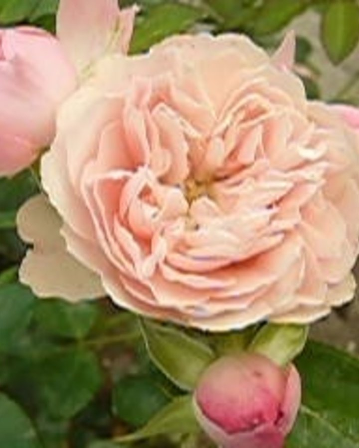Rosa 'Rose Meilove'   Roos    Heester