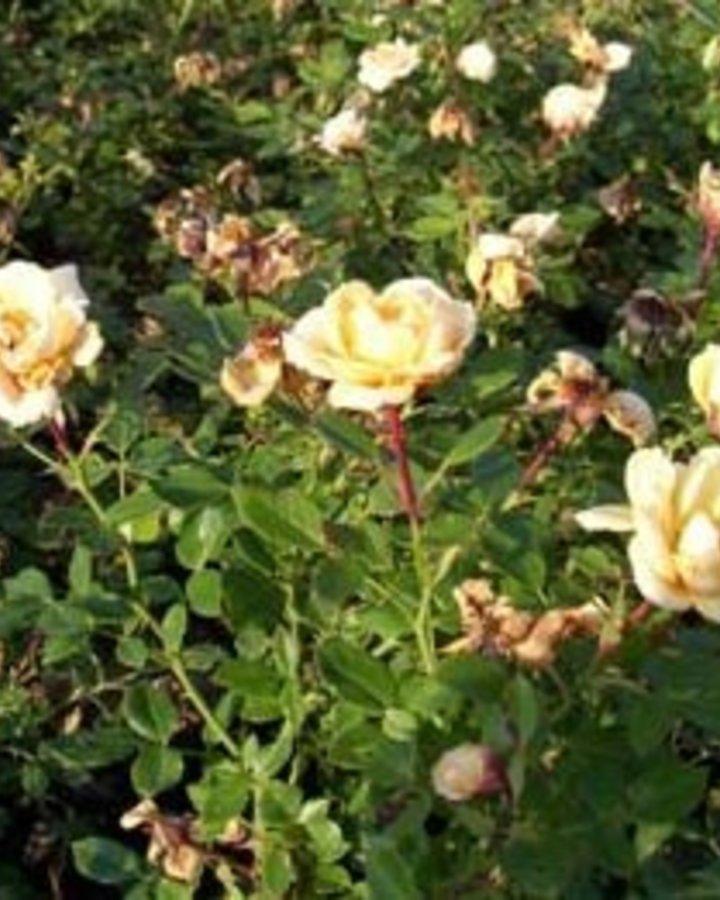 Rosa (P) ' Amber Nectar' | Bodembedekkende roos  | Heester