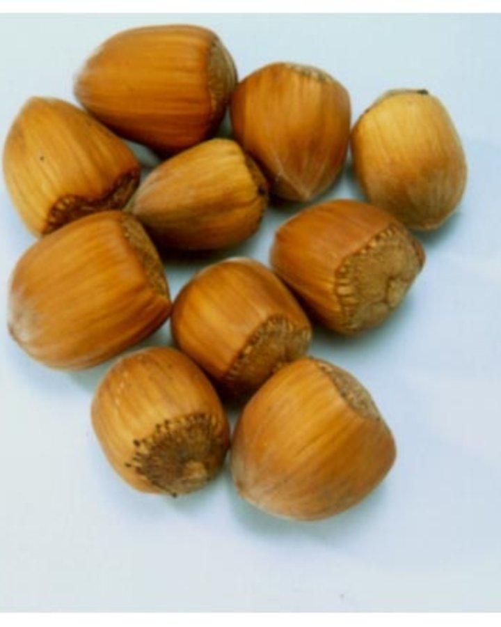 Corylus a. 'Gunslebert'   Grootvruchtige hazelnootboom