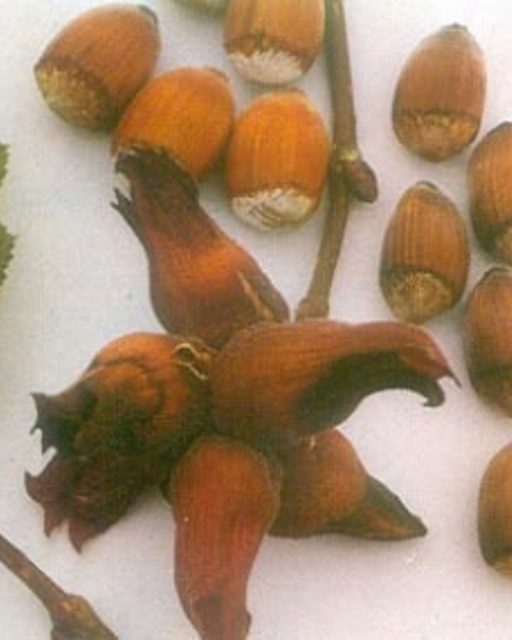 Corylus a. 'Witpit Lambertsnoot'   Grootvruchtige hazelnootboom