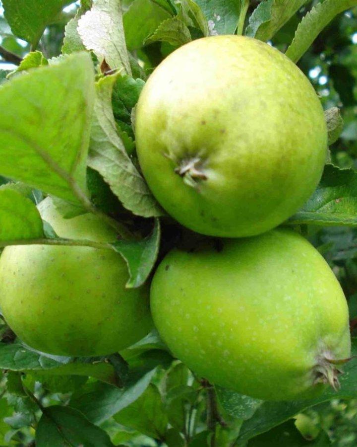 Malus d. 'Ananas Reinette' | Hand-moesappel | Wortelgoed