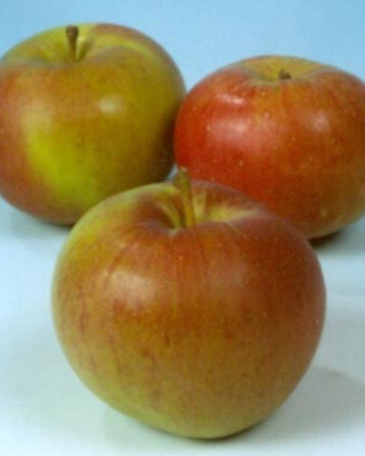 Malus d. 'Zoete Oranje'   Zoete appel   Wortelgoed