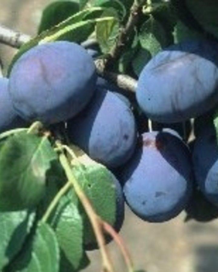 Prunus d. 'Hanita' / Zoete kwets