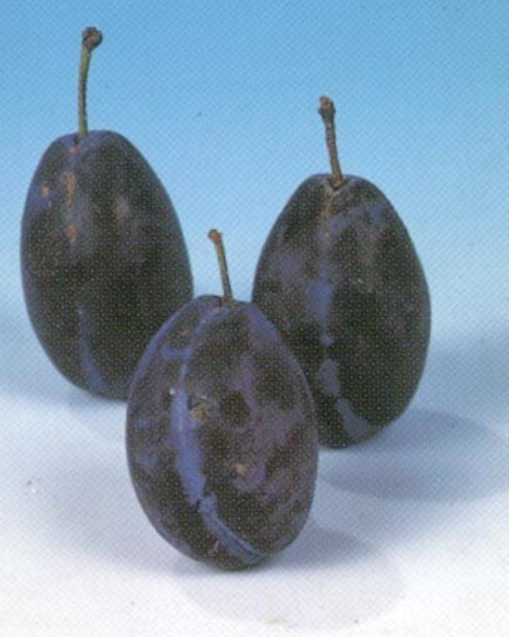 Prunus d. 'Hauszwetsche' | Zoete kwets | Wortelgoed