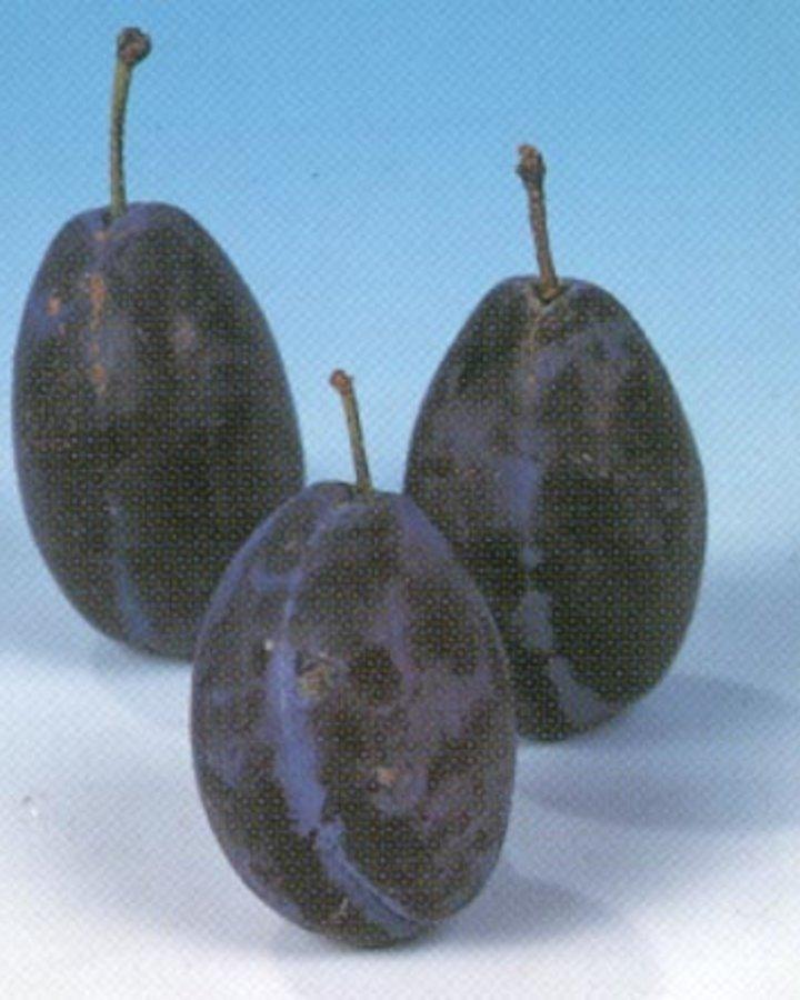 Prunus d. 'Italiaanse Kwets' / Bakpruim