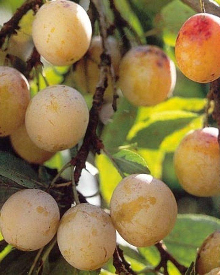 Prunus d. 'Mirabelle de Nancy'   Kroosje   Wortelgoed