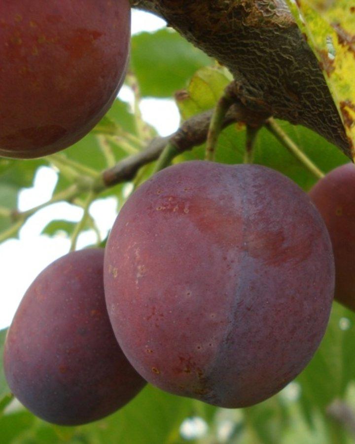 Prunus d. 'Monsieur Hatif' / Franse Wijnpruim