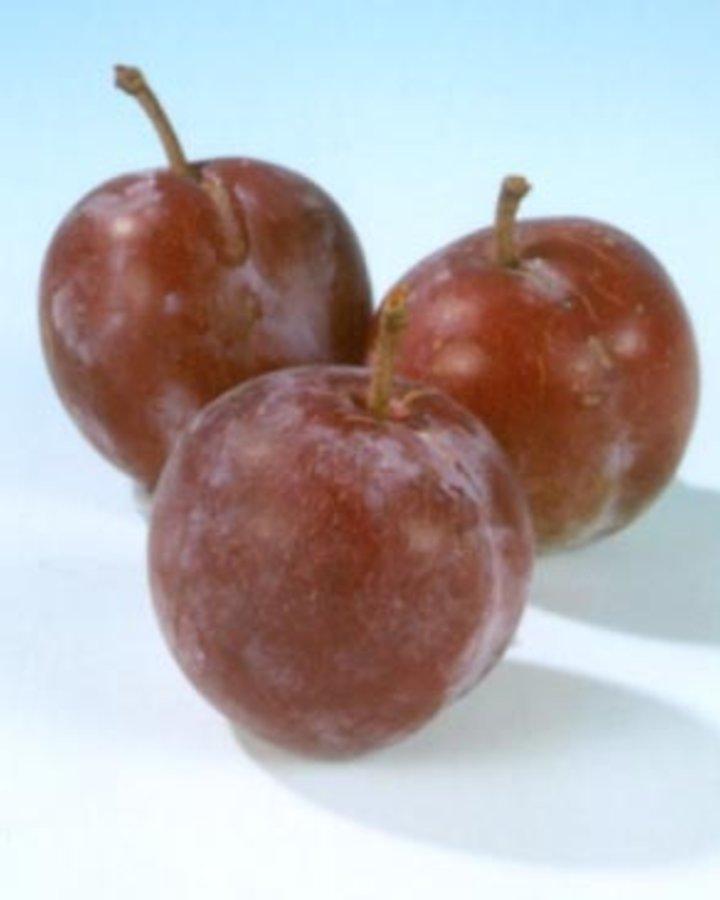 Prunus d. 'Reine Claude d'Althan' | Pruimenboom | Wortelgoed