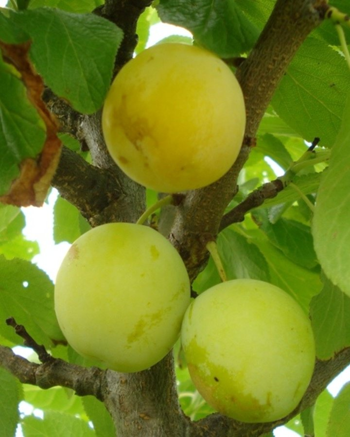 Prunus d. 'Washington' / Witte eierpruim