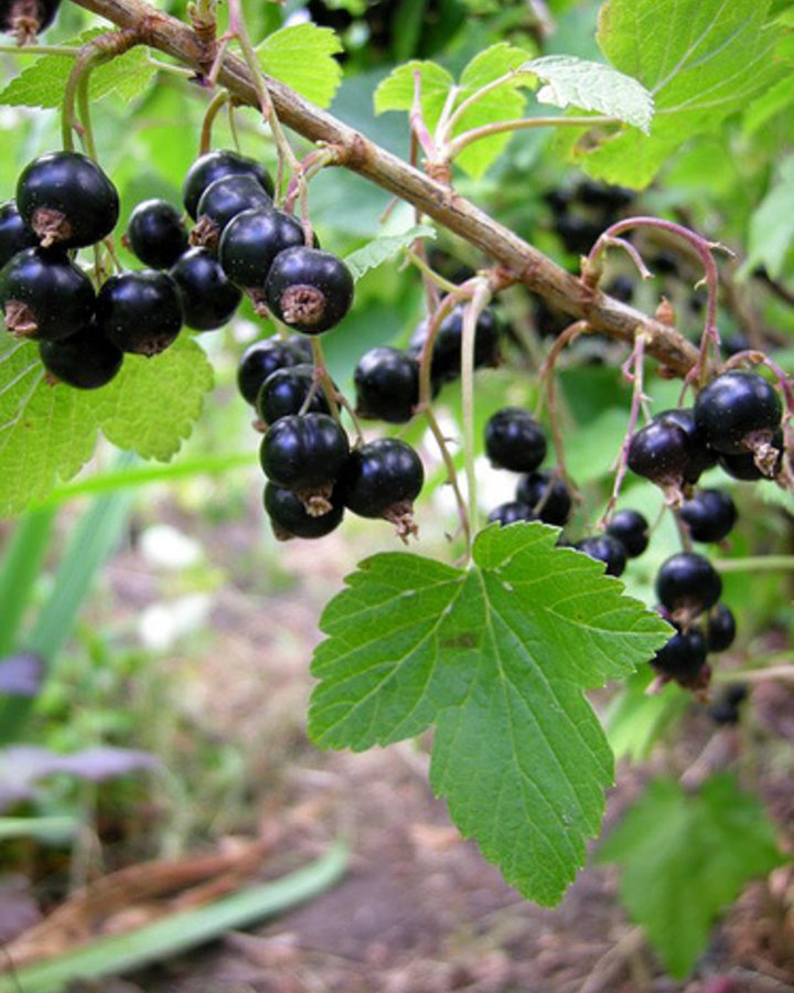 Ribes nigr. 'Tsema'   Zwarte bessentruik    Kleinfruit