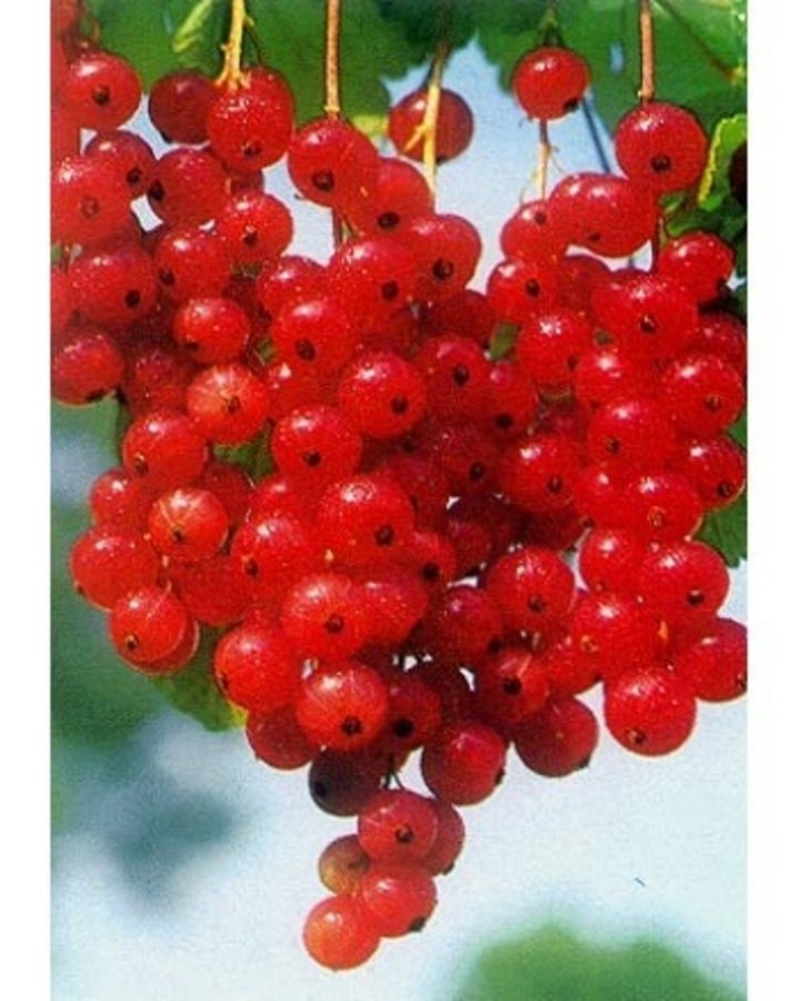 Ribes r. 'Augustus' / Rode bes