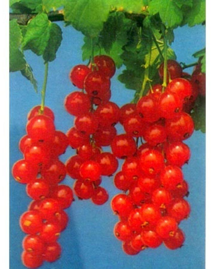 Ribes r. 'Rolan' / Rode bes