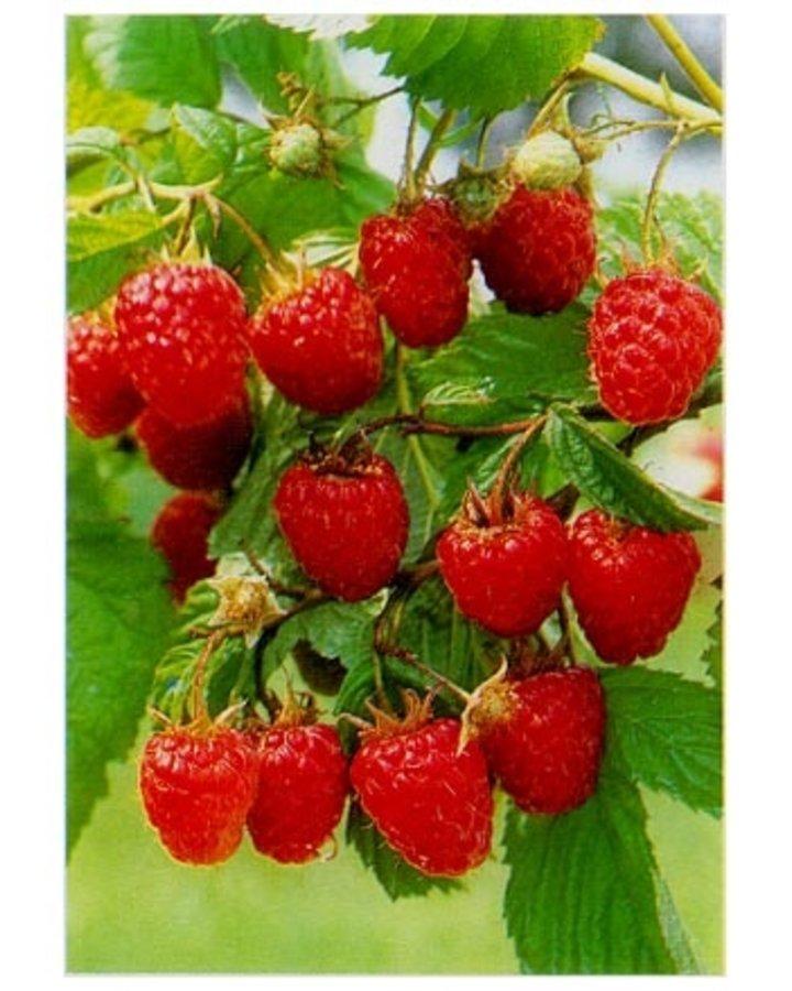 Rubus idaeus 'Malling Promise'   Zomerframboos    Kleinfruit wortelgoed