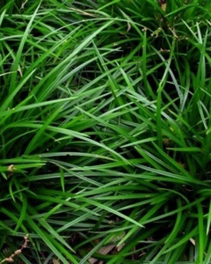 Carex 'Irish Green' | zegge | Siergras  | C2