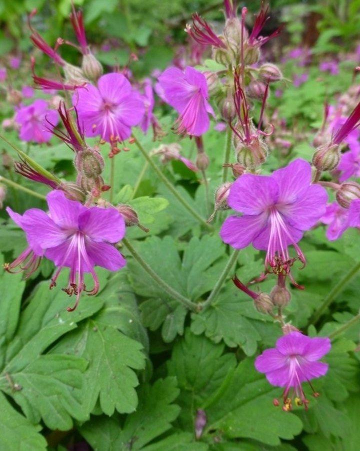 Geranium macr. 'Czakor'   Ooievaarsbek   Vaste planten