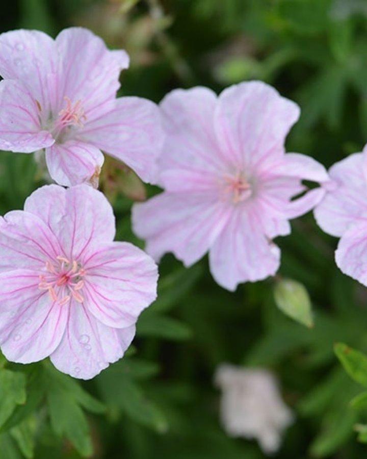 Geranium sang. striatum