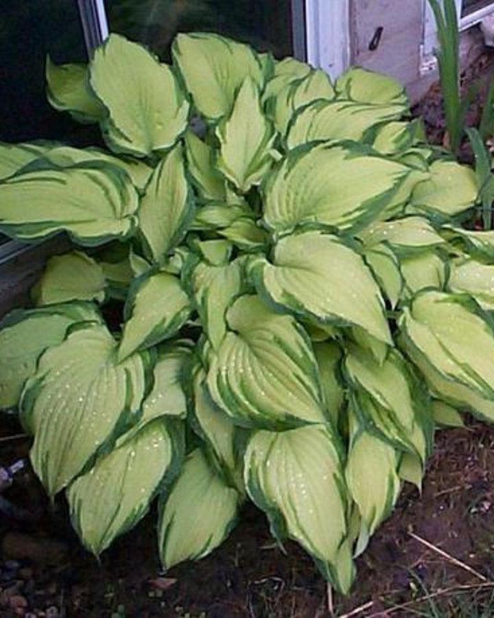 Hosta for. 'Albopicta' | Hartlelie | Vaste plant