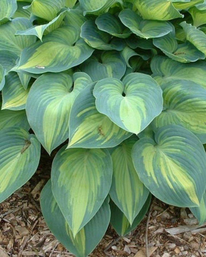 Hosta tardiana 'June'   hartlelie   Vaste plant