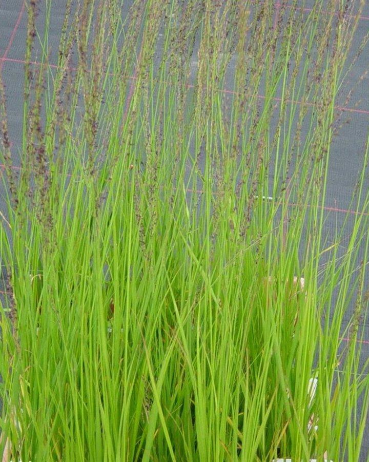 Molinia caerulea 'Heidebraut' / Siergras