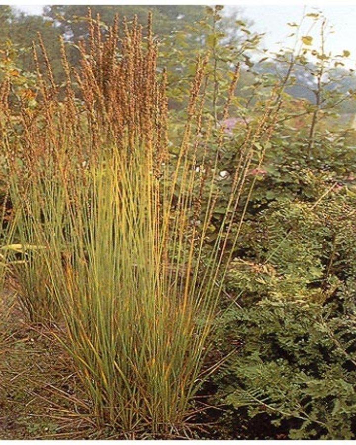 Molinia caerulea 'Moorhexe' | Pijpestrootje  | Siergras