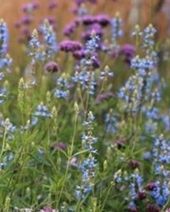 Salvia uliginosa 'Chiel' | Salie