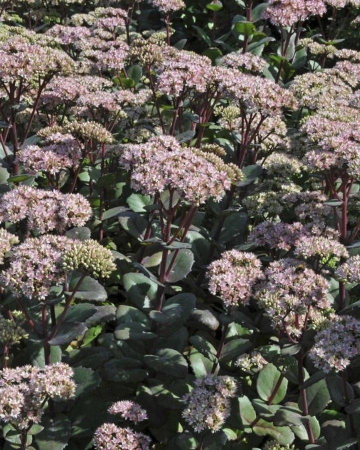 Sedum 'Matrona' | Vetkruid  | Vaste plant