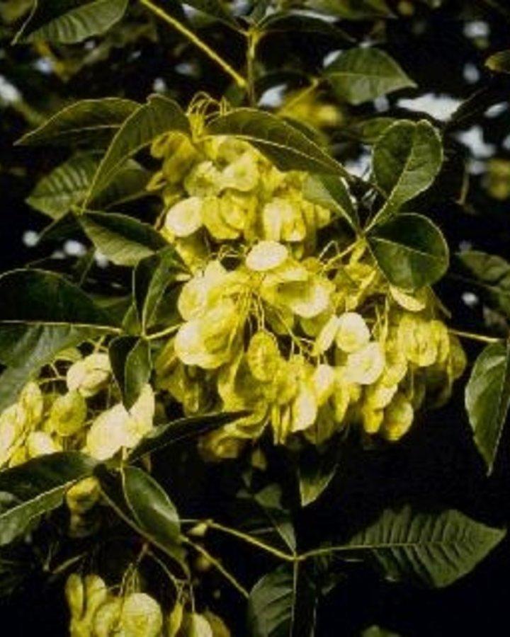 Ptelea trifoliata   Lederboom